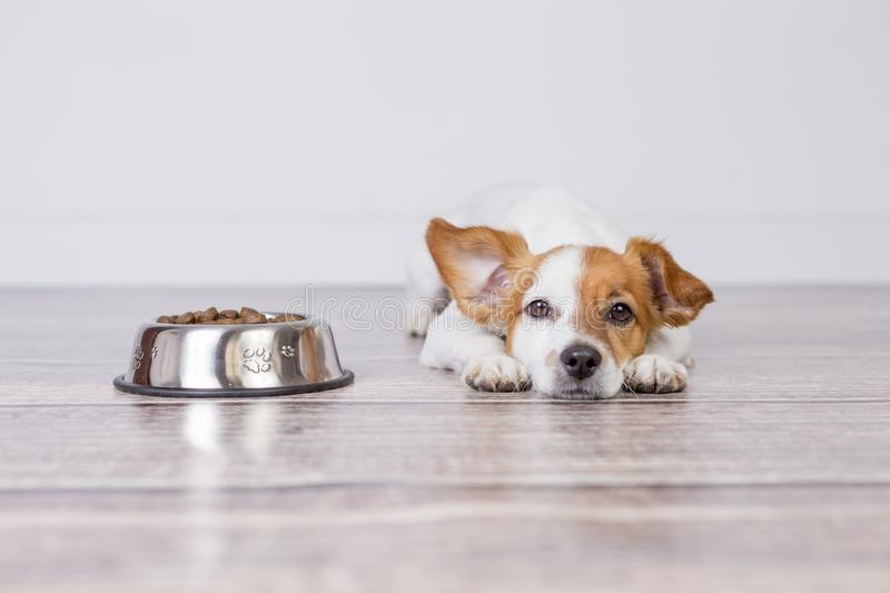 Cute small dog waiting for meal or dinner the dog food. he is lying on the floor and looking at the camera. white background and. Pets indoors stock images