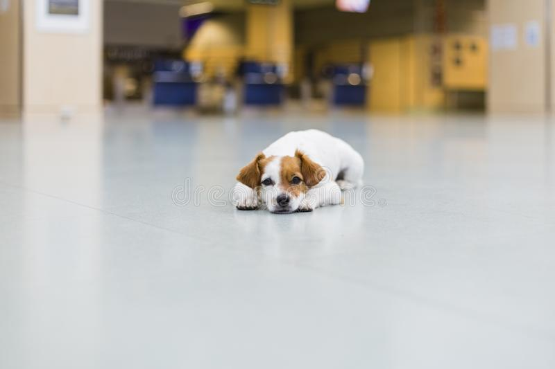 Cute small dog waiting patient at the airport. Pet in cabin. Traveling with dogs concept royalty free stock photography