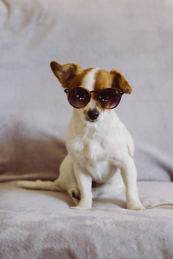 Cute small dog wearing modern sunglasses Sitting on the sofa. Grey background. Indoors. Love for animals concept royalty free stock photos