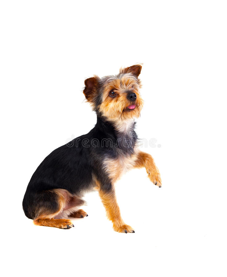 Free Cute Small Dog With Cutted Hair Raising The Leg Royalty Free Stock Images - 93933169