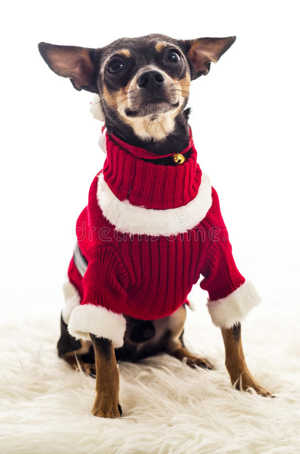 Download Cute Small Dog In Xmas Costume Stock Image - Image of puppy claus  sc 1 st  Dreamstime.com & Cute Small Dog In Xmas Costume Stock Image - Image of puppy claus ...