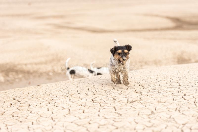 Cute dogs run over sandy ground and have fun. Two Jack Russell Terriers royalty free stock photo