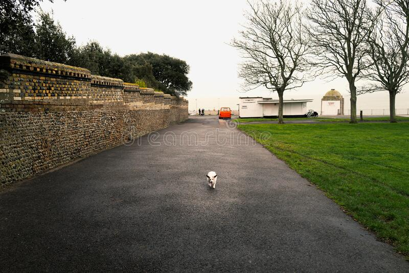 A cute small elderly Jack Russell makes her way up the esplanade off leash looking tiny in her surroundings stock image