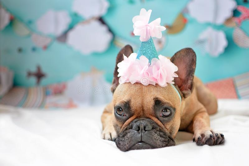 Cute female French Bulldog dog lying down on ground with pink birthday hat and baby blue party background. Cute small female French Bulldog dog lying down on royalty free stock images