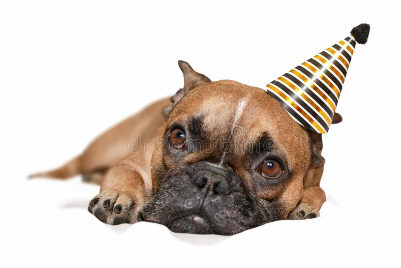Cute small French Bulldog dog with black and gold party new year or birthday party hat on head lying on white background stock photography