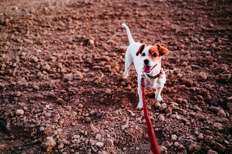 Cute small jack russell dog in countryside standing in brown field. wearing a brown leather leash and collar. Movement, action, breed, playing, playful stock photos