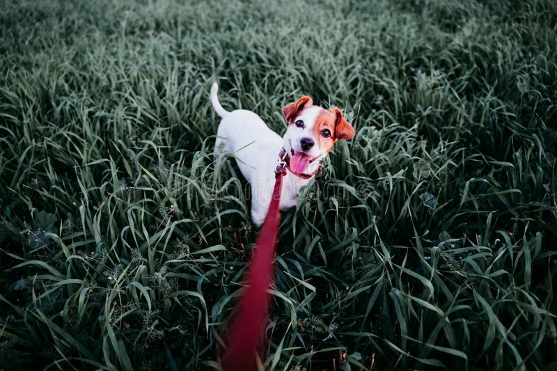 Cute small jack russell dog in countryside standing among green grass. wearing a brown leather leash and collar. Movement, action, breed, playing, playful stock image