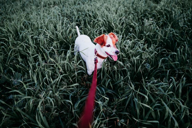 Cute small jack russell dog in countryside standing among green grass. wearing a brown leather leash and collar. Movement, action, breed, playing, playful stock photo