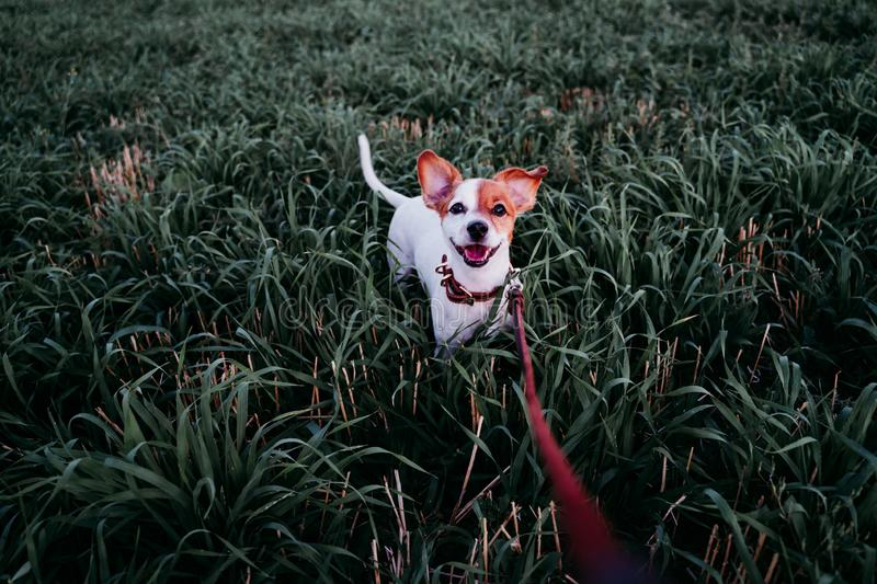 Cute small jack russell dog in countryside standing among green grass. wearing a brown leather leash and collar. Movement, action, breed, playing, playful royalty free stock image