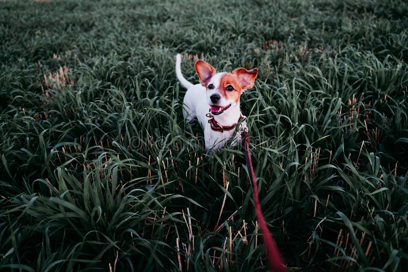 Cute small jack russell dog in countryside standing among green grass. wearing a brown leather leash and collar. Movement, action, breed, playing, playful royalty free stock images