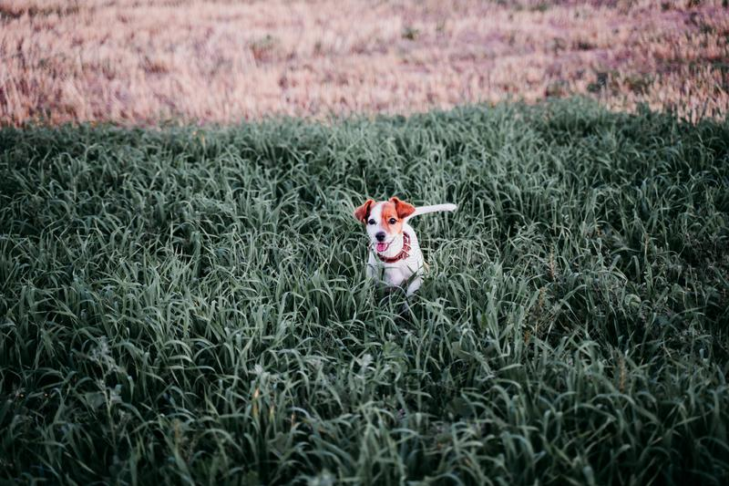Cute small jack russell dog in countryside standing among green grass. wearing a brown leather leash and collar. Movement, action, breed, playing, playful royalty free stock photography