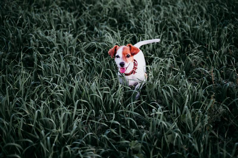 Cute small jack russell dog in countryside standing among green grass. wearing a brown leather leash and collar. Movement, action, breed, playing, playful stock photography