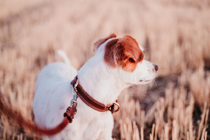 Cute small jack russell dog in countryside standing in yellow field. wearing a brown leather leash and collar. Movement, action, breed, playing, playful royalty free stock photos