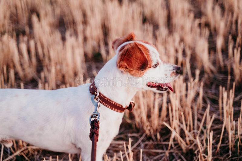Cute small jack russell dog in countryside standing in yellow field. wearing a brown leather leash and collar. Movement, action, breed, playing, playful royalty free stock images