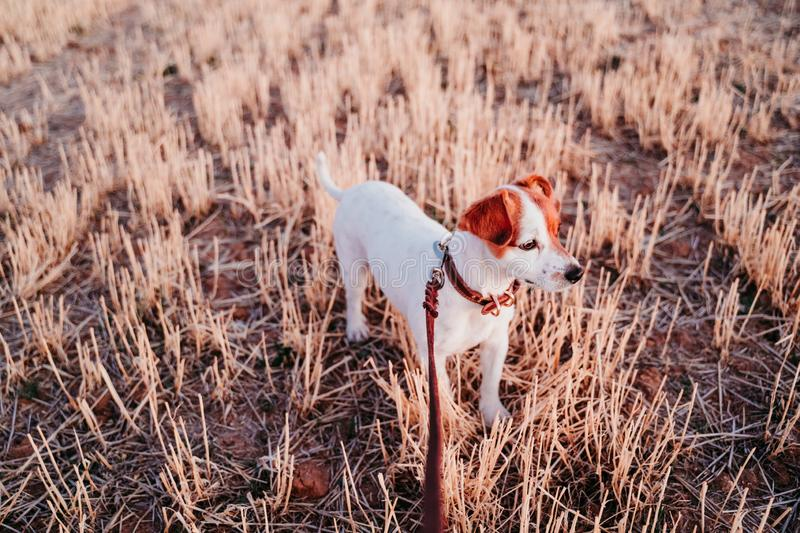 Cute small jack russell dog in countryside standing in yellow field. wearing a brown leather leash and collar. Movement, action, breed, playing, playful stock photos