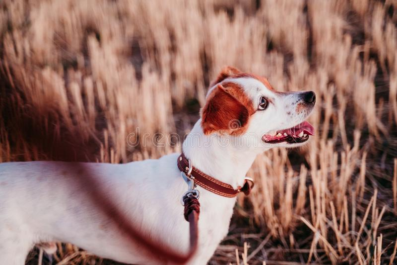 Cute small jack russell dog in countryside standing in yellow field. wearing a brown leather leash and collar. Movement, action, breed, playing, playful royalty free stock photo