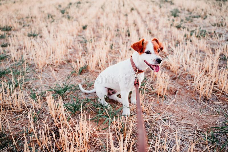 Cute small jack russell dog in countryside standing in yellow field. wearing a brown leather leash and collar. Movement, action, breed, playing, playful stock photography