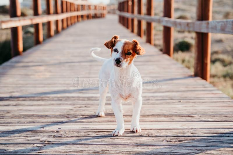 Cute small jack russell dog sitting on a wood bridge at the beach at sunset royalty free stock images