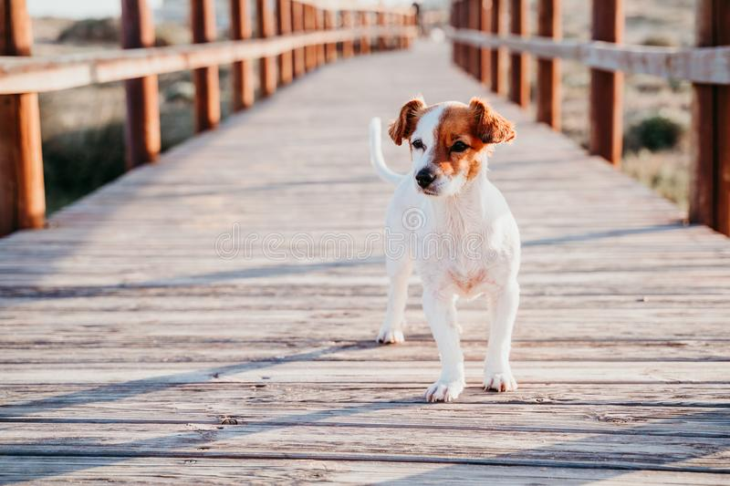 Cute small jack russell dog sitting on a wood bridge at the beach at cute small jack russell dog sitting on a wood bridge at the. Cute small jack russell dog stock photo