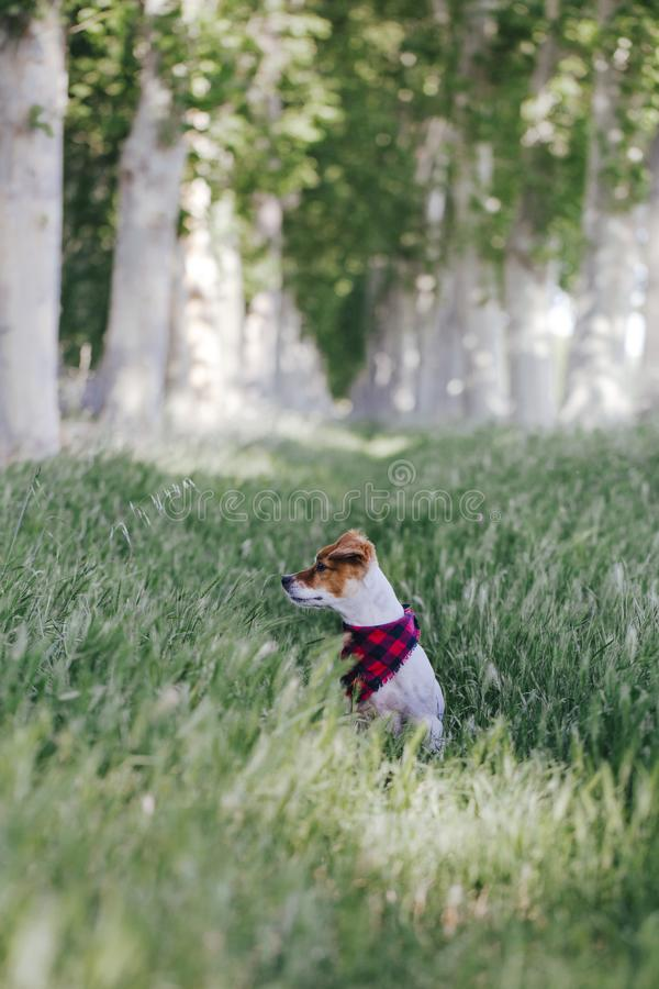 Cute small jack russell dog standing outdoors in a trees way and looking at the camera. Wearing a plaid bandana. Pets outdoors royalty free stock photo