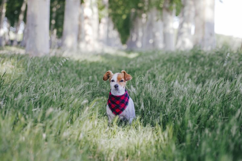 Cute small jack russell dog standing outdoors in a trees way and looking at the camera. Wearing a plaid bandana. Pets outdoors stock photo