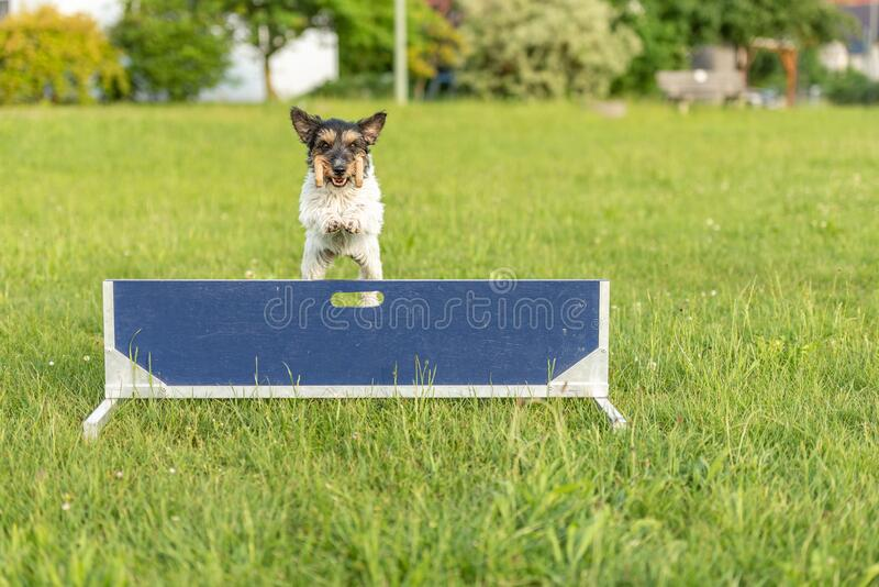 Cute Small Jack Russell Terrier dog is jumping fast over a hurdle. Dog is holding a dumbbells in the catch royalty free stock photos