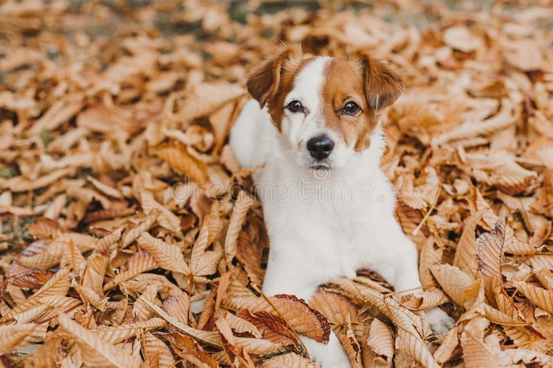 Cute small jack russell terrier dog lying on brown leaves outdoor. Autumn concept stock photos
