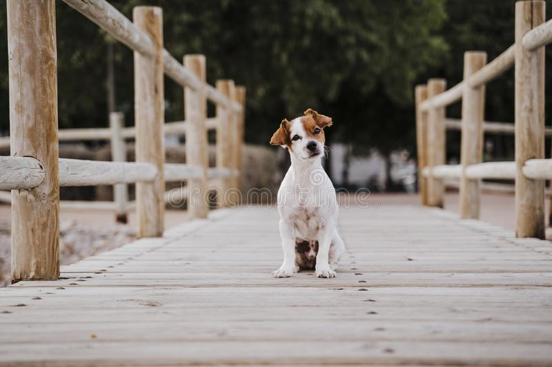 Cute small jack russell terrier dog lying on a wood bridge outdoors and looking for something or someone. Pets outdoors and. Lifestyle stock photo