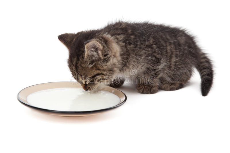 Cute small kitten licking milk stock photos