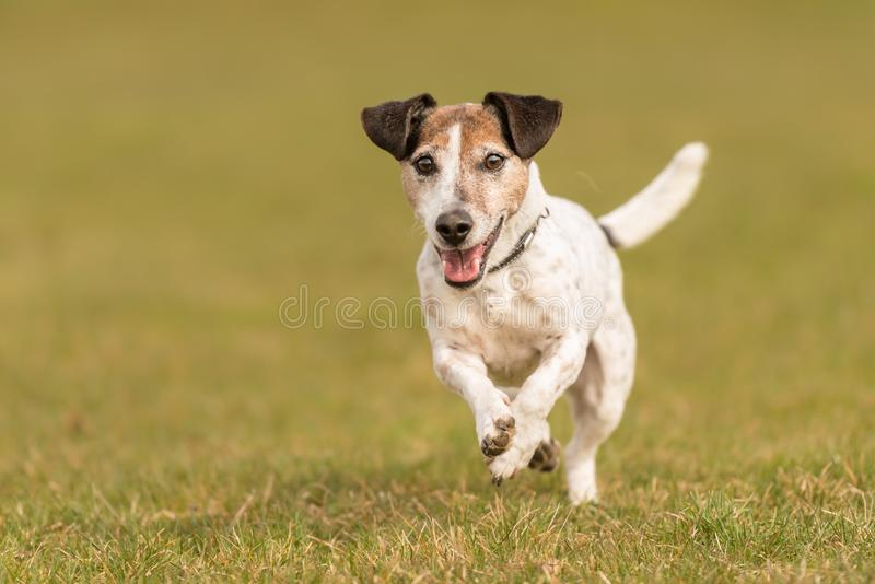 Small old dog runs and flies over a green meadow in spring - Jack Russell Terrier Hound stock image