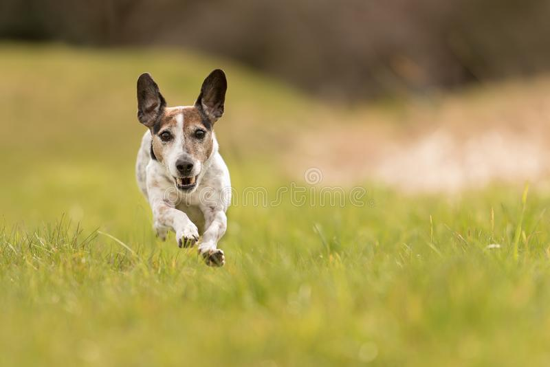 Small old dog runs and flies over a green meadow in spring - Jack Russell Terrier Hound. Cute small old dog runs and flies over a green meadow in spring - Jack royalty free stock photo