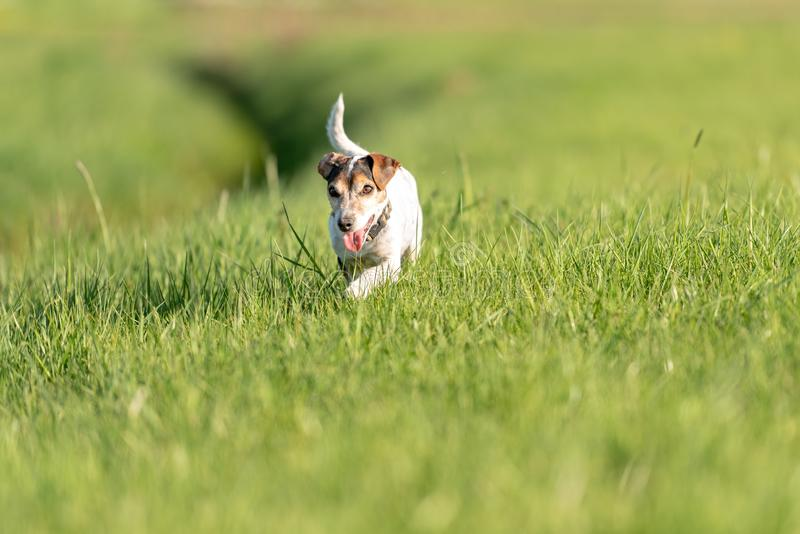 Cute small old dog runs and flies over a green meadow in spring - Jack Russell Terrier Hound 11 years old. Small old dog runs and flies over a green meadow in stock photos