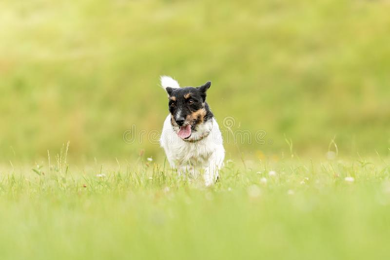 Cute small old dog runs and flies over a green meadow in spring - Jack Russell Terrier Hound 3 years old. Small old dog runs and flies over a green meadow in stock photography