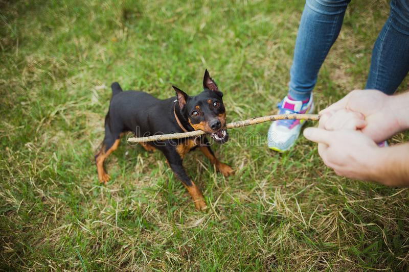 Cute small playful black miniature pinscher portrait stock photos