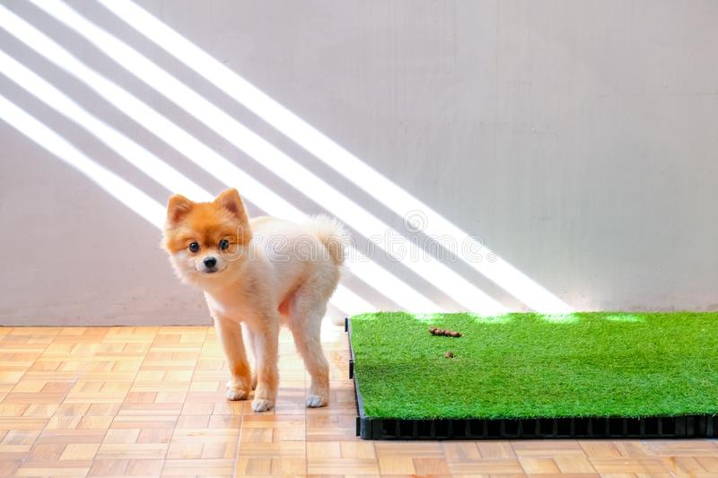 Cute small Pomeranian dog pooping out of prepared area. dog terrier on park with the grass field. Dog defecate on the garden stock photography