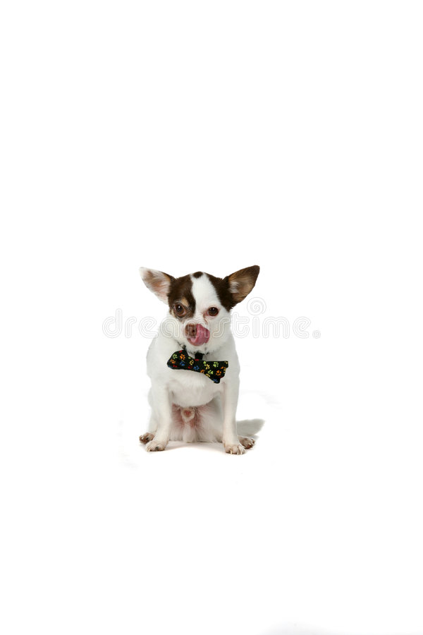 Download Cute Small White Dog With Big Ears And A Bow Tie Stock Photo - Image: 7658532