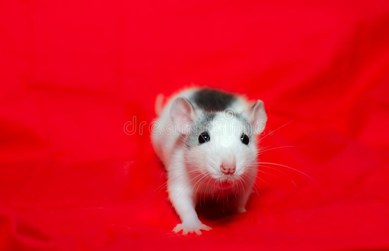 Small rat on the red background with copy space, the christmas mouse. Symbol of the new year 2020 in the Chinese. Cute small white rat on the red background in stock photo