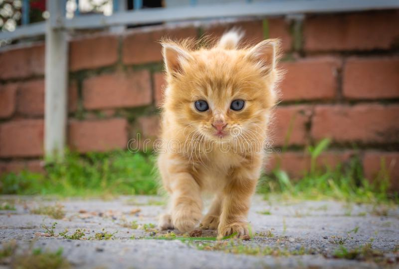 Cute small yellow kitten with blue eyes. Portrait of tabby cat. Street cat and lifestyle concept. Cat looking the camera royalty free stock photo