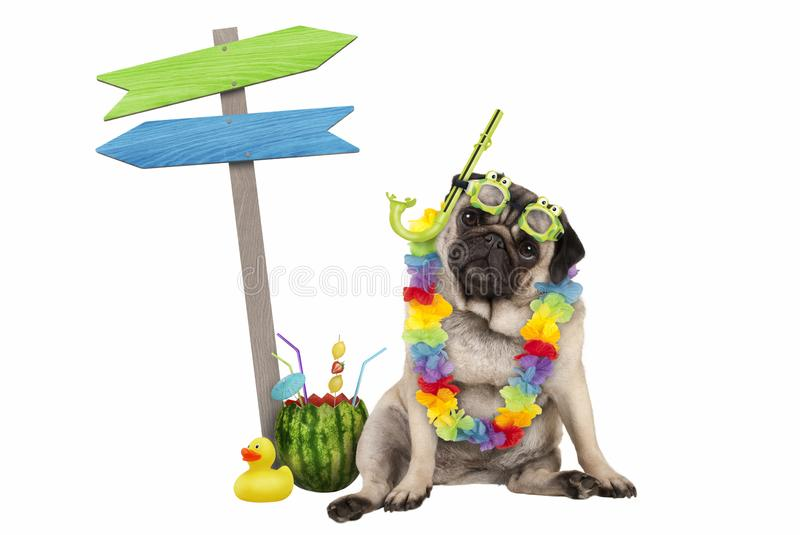 Cute smart pug puppy dog sitting down with watermelon cocktail, wearing hawaiian flower garland, goggles and snorkel, next to wood stock photos