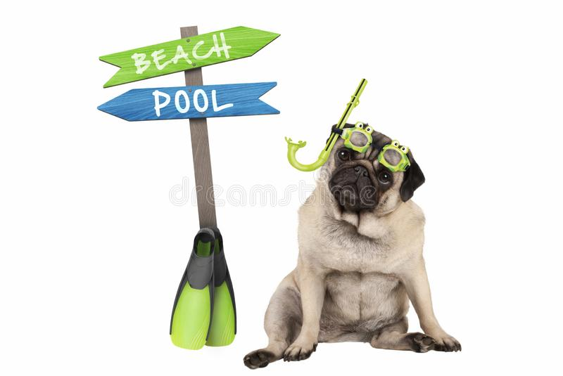 Cute smart pug puppy dog sitting down wearing goggles and snorkel, next to signpost with text pool and beach. Isolated on white background royalty free stock photography