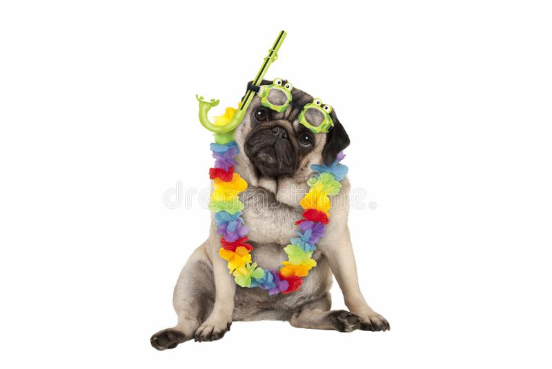 Cute smart pug puppy dog sitting down wearing hawaiian flower garland and green goggles and snorkel. Isolated on white background royalty free stock photos