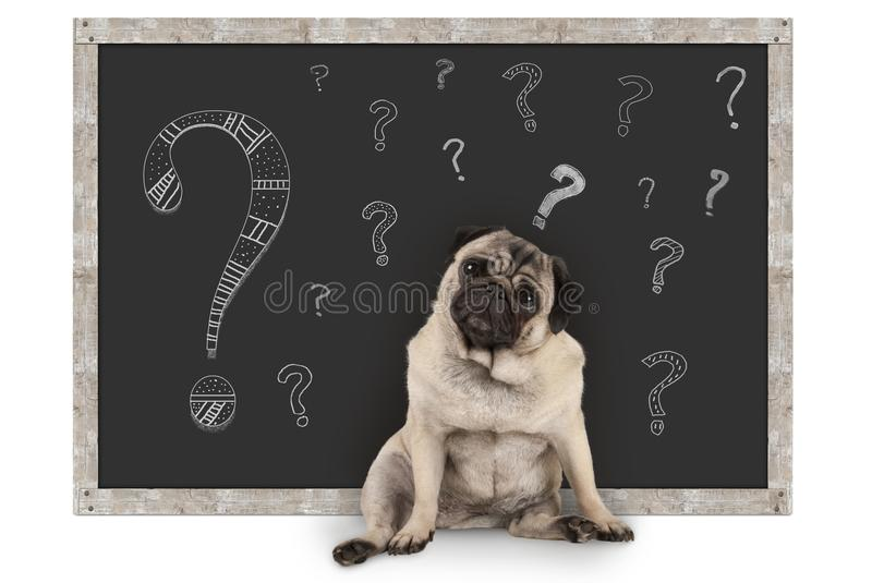 Cute smart pug puppy dog sitting in front of blackboard with chalk question marks royalty free stock photos