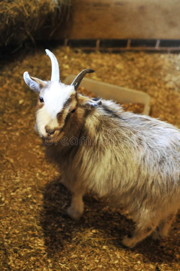 Cute smiling brown goat with lovely stare stock photo