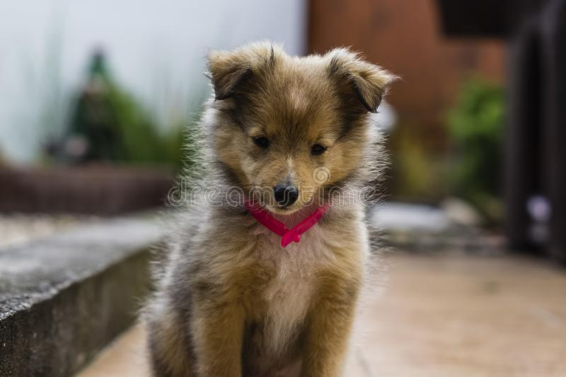 Little puppy Shetland Shepherd royalty free stock photos
