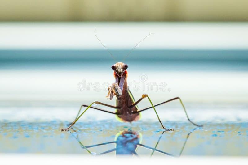 Cute smiling mantis praying in the summer rain stock photo