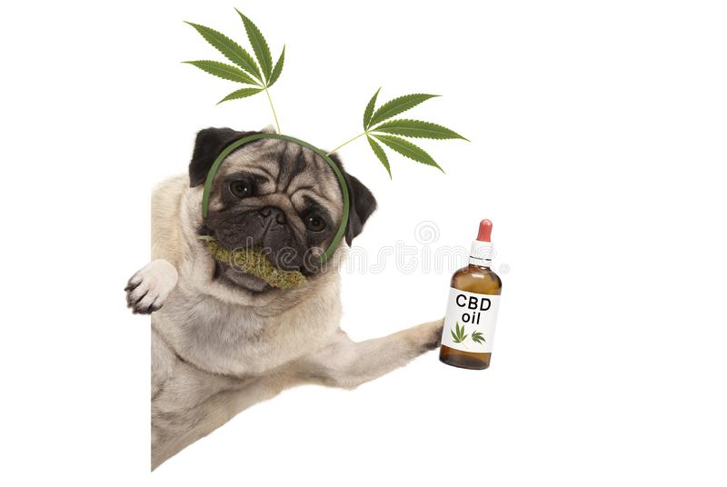 Cute smiling pug puppy dog holding up bottle of CBD oil, wearing marijuana hemp leaf diadem, chewing on cannabis flowers. Cute smiling pug puppy dog holding up royalty free stock images