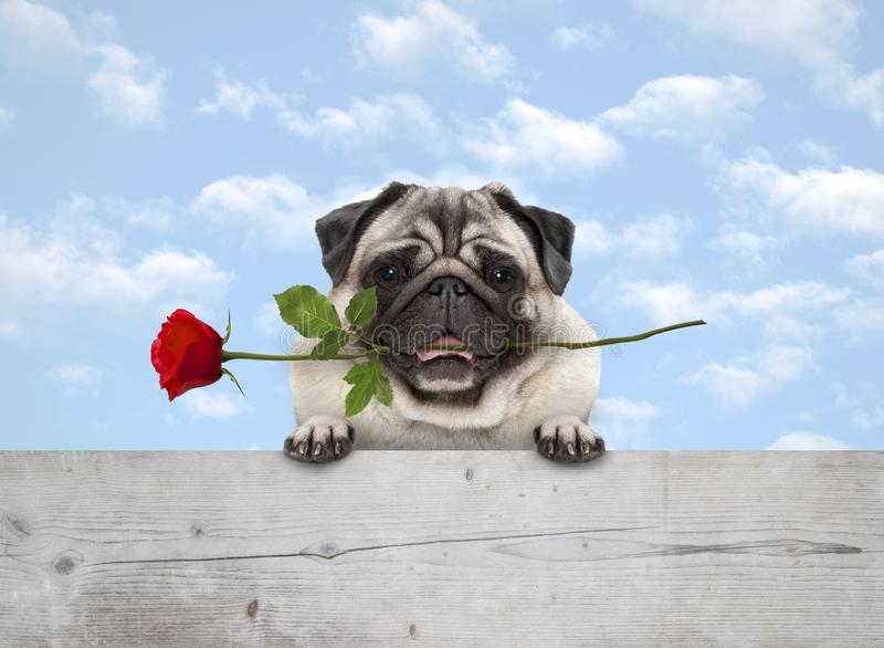 Cute smiling pug puppy dog with red rose in mouth, with paws on wooden fence banner, with blue sky background royalty free stock photo