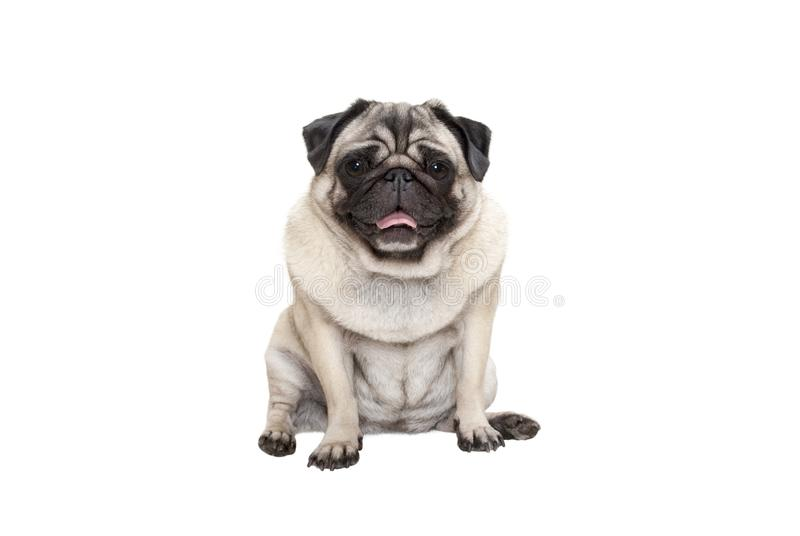 Cute smiling pug puppy dog sitting down with tongue out, isolated on white background stock photo