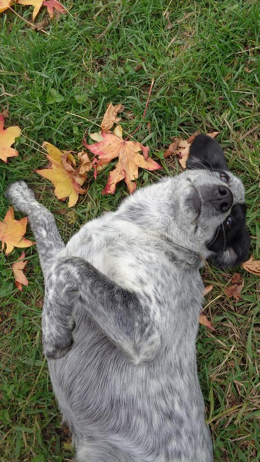 Funny dog lying on grass among autumn leaves stock photography