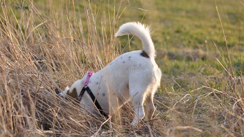 Dog digging a hole royalty free stock image